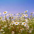 Daisies on blue sky background — Stock Photo