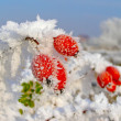 Rosehip branches covered with hoarfrost — Stock Photo #37974079