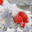 Rosehip branches covered with hoarfrost — Stock Photo #37974089