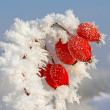 Rosehip branches covered with hoarfrost — Stock Photo #37974159
