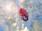 Rosehip branches covered with hoarfrost — Foto Stock