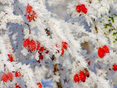 Rosehip branches covered with hoarfrost — Stock Photo