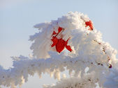 Rosehip branches covered with hoarfrost — Stockfoto