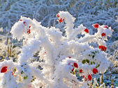 Rosehip branches covered with hoarfrost — Stock fotografie