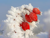 Rosehip branches covered with hoarfrost — Photo