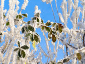 Frozen tree branch covered with hoarfrost — Stock Photo