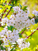 Blossoming branch with with flowers of cherry plum — Photo