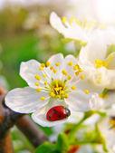A ladybug on a apple tree flower — 图库照片