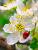A ladybug on a apple tree flower — Stock Photo