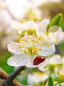 A ladybug on a apple tree flower — Stockfoto