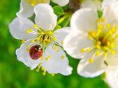 A ladybug on a apple tree flower — Stock Photo