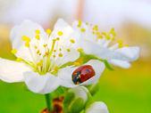 A ladybug on a apple tree flower — Stock fotografie