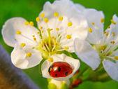 Una mariquita sobre una flor del árbol de manzana — Foto de Stock