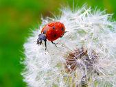 A ladybug on a fluffy dandelion seeds — Stock fotografie