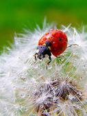 A ladybug on a fluffy dandelion seeds — Stockfoto