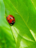 A ladybug on a green grass leaf — Stock Photo