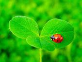 A ladybug on a green clover leaf — Stock Photo