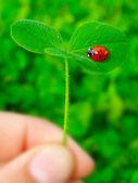 A ladybug on a green clover leaf — Foto Stock