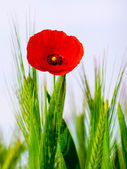 Red poppy in the green wheat crop — Stock Photo