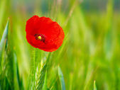 Red poppy in the green wheat crop — Stock fotografie