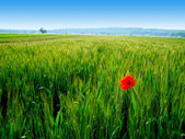 Red poppy in the green wheat crop — Foto Stock