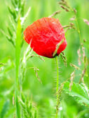 Red poppy in the green field of grass — Foto Stock