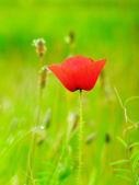 Red poppy in the green field of grass — Stockfoto