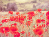 Field filled with red poppies — Stock Photo