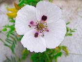 White poppy in the green field of grass — Foto Stock