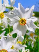 Wild narcissus — Stock Photo