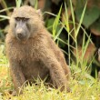 Royalty-Free Stock Photo: Olive Baboon - Bigodi Wetlands - Uganda, Africa