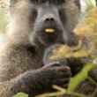 Olive Baboon - Bigodi Wetlands - Uganda, Africa — Stock Photo