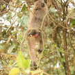 Stock Photo: Monkey Bum - Bigodi Wetlands - Uganda, Africa