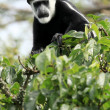 Black and White Colobus - Bigodi Wetlands - Uganda, Africa - Lizenzfreies Foto