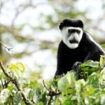 Black and White Colobus - Bigodi Wetlands - Uganda, Africa — Stock Photo #12313162