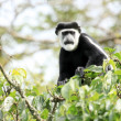 Black and White Colobus - Bigodi Wetlands - Uganda, Africa — Photo