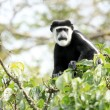 Black and White Colobus - Bigodi Wetlands - Uganda, Africa — Stok fotoğraf