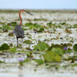 Goliath Heron - Lake Opeta - Uganda, Africa — Photo
