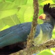 Great Blue Turaco - Bigodi Wetlands - Uganda, Africa - Stock Photo