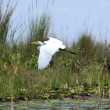 Great White Egret - Lake Opeta - Uganda, Africa — Foto Stock