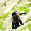 Grey-Cheeked Mangabey - Bigodi Wetlands - Uganda, Africa — 图库照片
