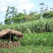 Bigodi Swamps - Uganda - Stock Photo
