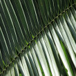 Royalty-Free Stock Photo: Palm Leaf - Bigodi Swamps - Uganda