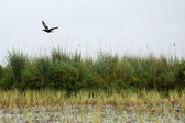 African Darter Bird - Lake Opeta - Uganda, Africa — Stock Photo
