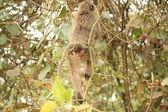 Monkey Bum - Bigodi Wetlands - Uganda, Africa — Stock Photo