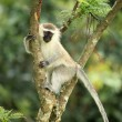 Vervet Monkey - Uganda, Africa - Stock Photo
