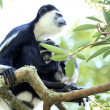 Black and White Colobus - Uganda, Africa - Stock Photo