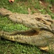 Crocodille - African Wildlife - Stock Photo