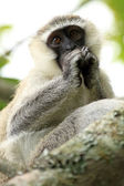 Vervet Monkey - Uganda, Africa — Stock Photo