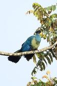 Great Blue Turacao - Remote Western Uganda — Stock Photo